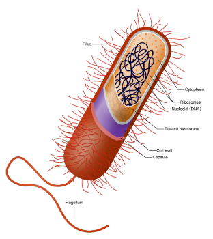 E. Coli bacterie illustratie