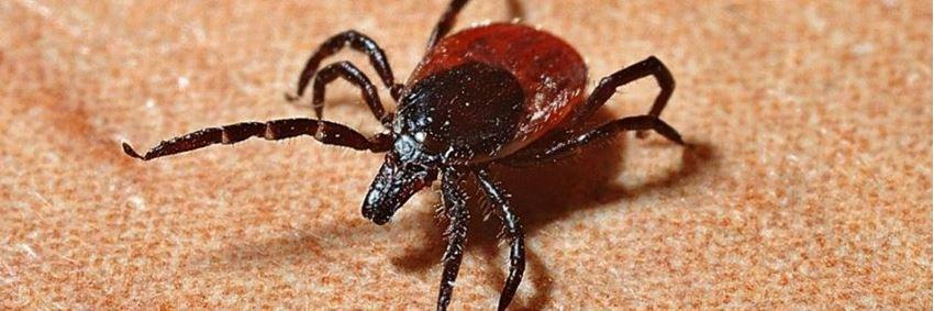Wat is de ziekte van Lyme en hoe verspreiden teken deze ziekte?